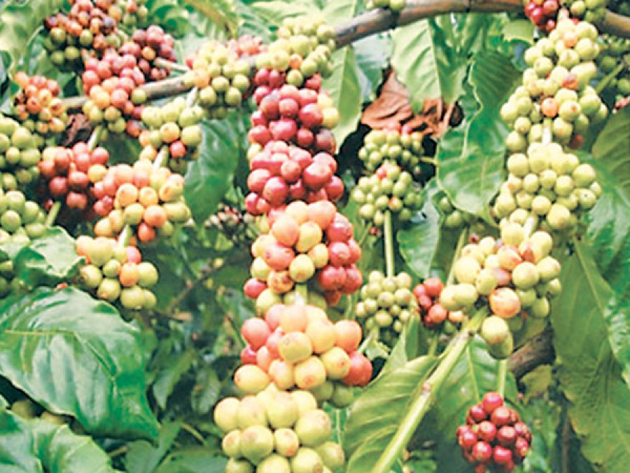 Brand registration expected to boost Nepal coffee exports