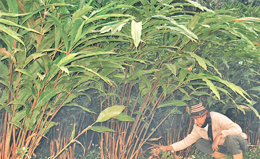 Okhaldhunga district is self-reliant on large cardamom saplings