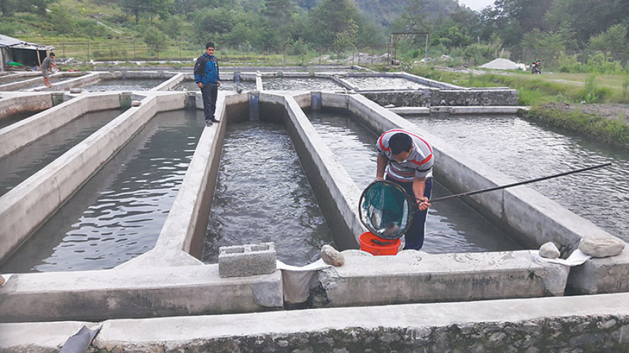 Trout farming becomes big business in Helambu