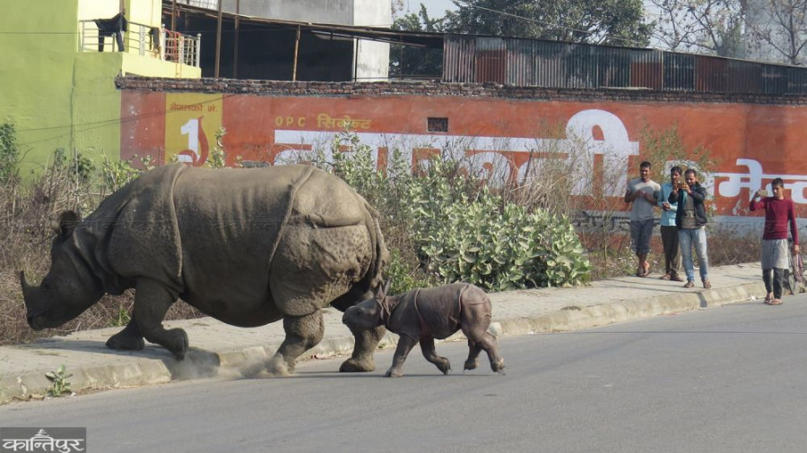 Rhino enters human settlement for delivery in Chitwan