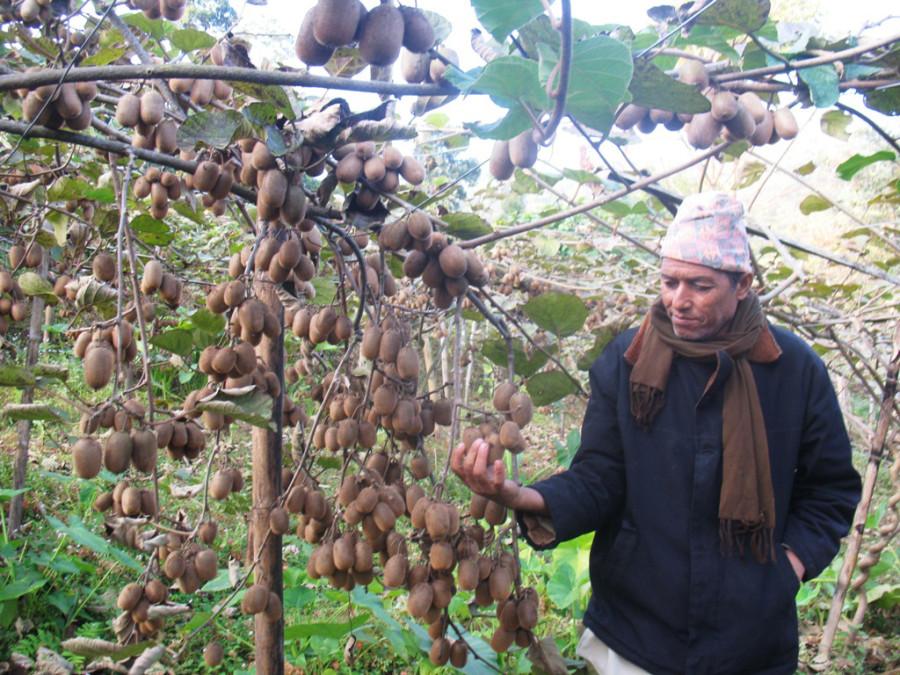 Guranse Farmers Earn Good Income Growing Kiwi